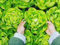 Foto de unas manos recogiendo una planta de lechuga de un montón.