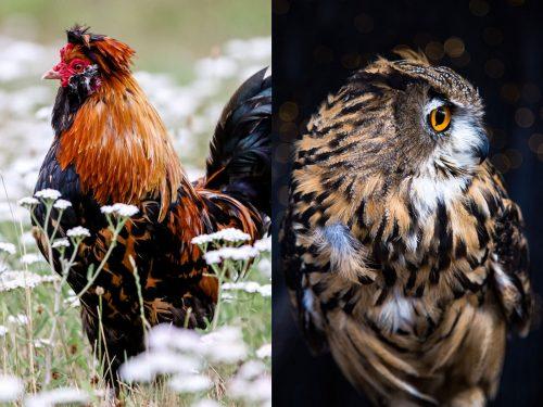 Foto compuesta: De un lado un gallo en una pradera con flores y del otro un buho en la noche