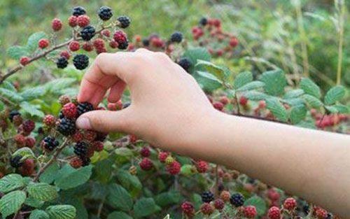 Una mano recogiendo moras de un arbusto