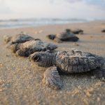 Voluntarios limpian playa y regresan las tortugas marinas