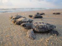 Tortugas olivaceas naciendo