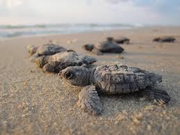 Tortugas olivaceas naciendo en la costa