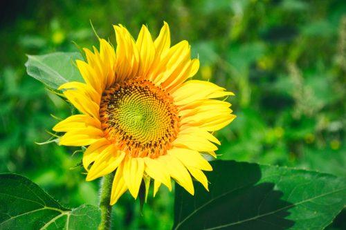 Sunflower by Andrii Podilnyk on Unsplash