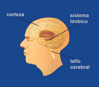 Gráfico de un cerebro mostrando sus partes: corteza, sistema límbico y tallo cerebral.